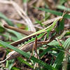 Female Admirable Grasshopper