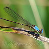 Very Cooperative Damselfly