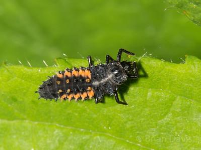 Harlequinn Ladybird Larva