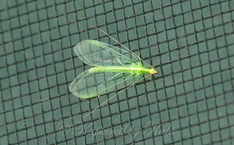Red-lipped Green Lacewing