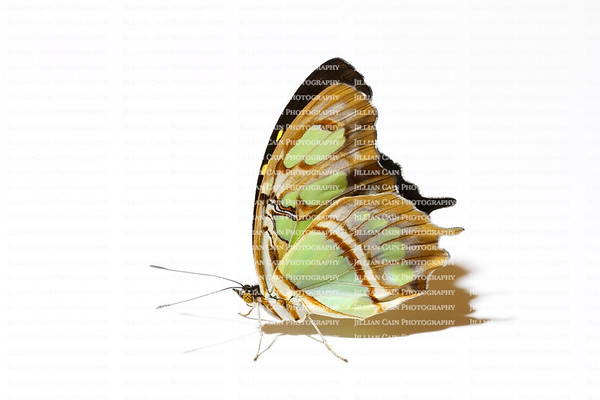 exquisite backlit Malachite butterfly isolated on white