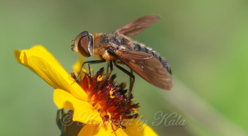 Lucifer Bee Fly On Stiff Greenthread Wildflower