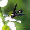 Black & White Mason Wasp On An Indian Potato Plant