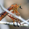 Hanging Thief Robber Fly