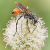 Thread-waisted wasp Prionyx