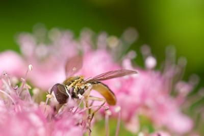 Toxomerus marginatus (Hoverfly)