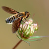 Lucifer Bee Fly On Flower Bud