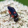 Poison Ivy Sawfly