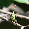 Friendly Jade Clubtail