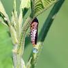 Leafhopper Rain