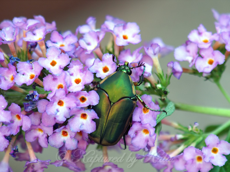 Green June Beetle On Butterfly Bush