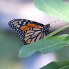 Another Monarch Outside My Window