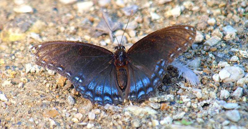 My 1st Red-spotted Purple