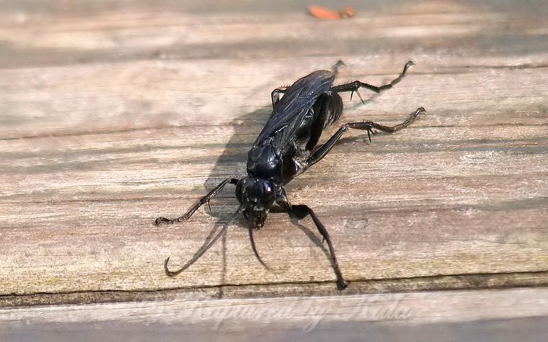 Blue-black Spider Wasp