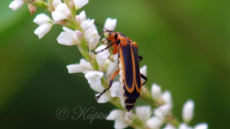 Beetles Can Be Pollinators Too