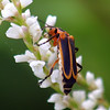 Beetles Can Be Pollinators Too