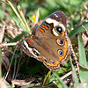 Common Buckeye In The Sunshine