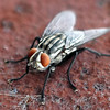Close Up Of A Flesh Fly