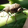 Nut And Acorn Weevil