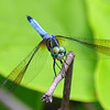 Male Blue Dasher Dragonfly