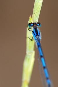 This bright blue Familiar Bluet damselfly was found in the saline wetlands around Lincoln, Nebraska.  Sp. Enallagma civile