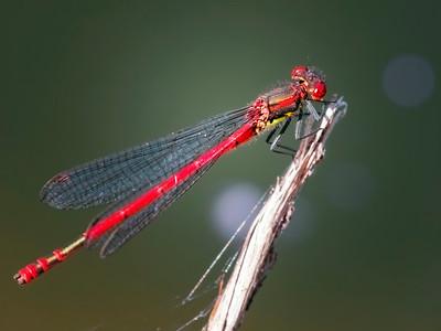 Large red damselfly