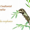 Giant Swallowtail caterpillar isolated on white with name in text