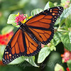 Beautiful Male Monarch