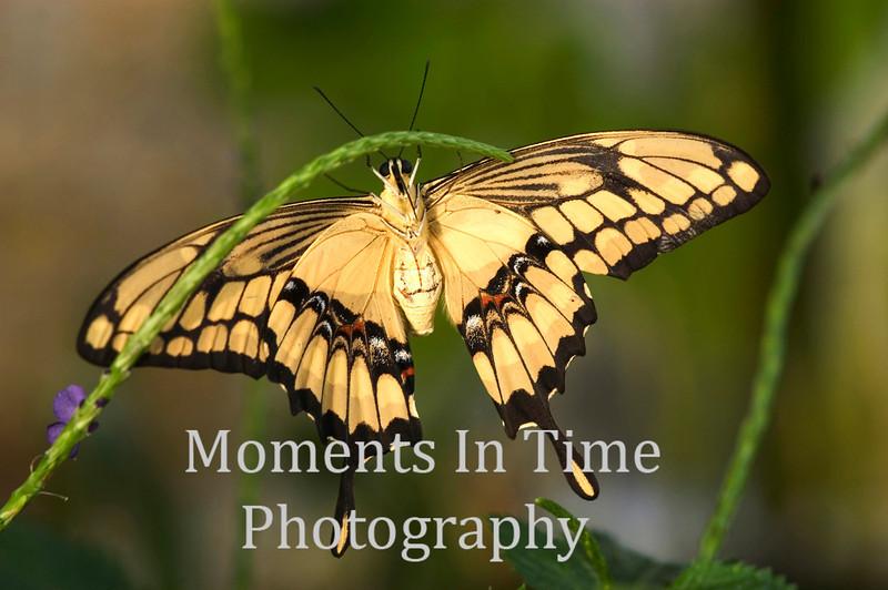 Yellow swallowtail hanging