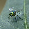 Longlegged Fly View 2