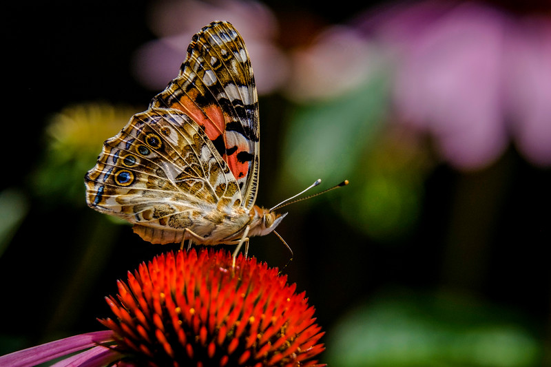 Painted Lady, Vanessa cardul
