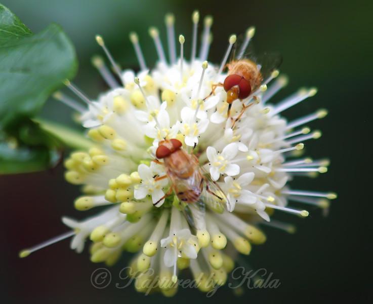 Male & Female Six-spotted Bromeliad Flies