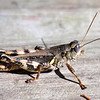 Ponderous Spur-throat Grasshopper At The Heard