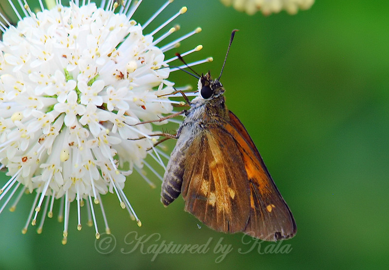 Broad-winged Skipper On Buttonbush