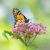 Monarch Butterfly, Swamp Milkweed