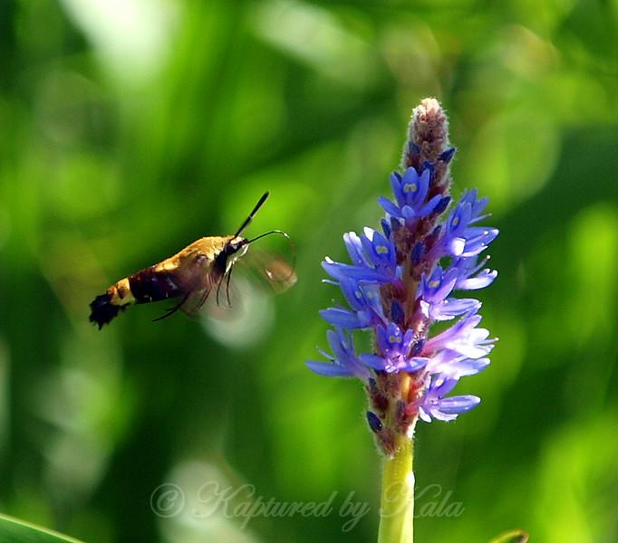 One Last Shot of the Hummingbird Moth