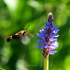 One Last Shot of the Hummingbird Moth