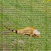 Sticking it's pink tongue out an orange iguana walks across a grassy field