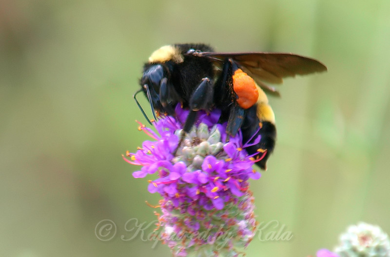 American Bumblebee On Purple Prairie Clover View 3