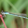 My First Female Familiar Bluet