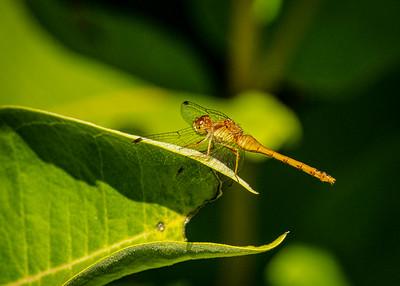 Meadowhawk Dragonfly