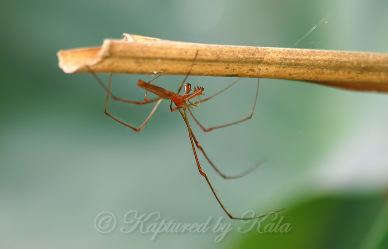 Long-jawed Orb Weaver On The Prowl