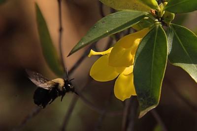 Bee and Carolina Jessamine