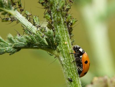 7 Spot Ladybird and Aphids