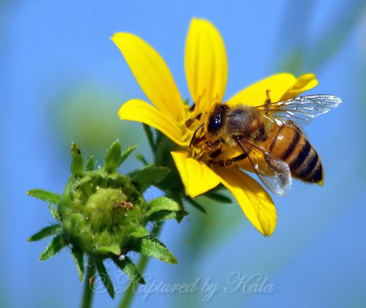 Honey Bee on Goatsbeard