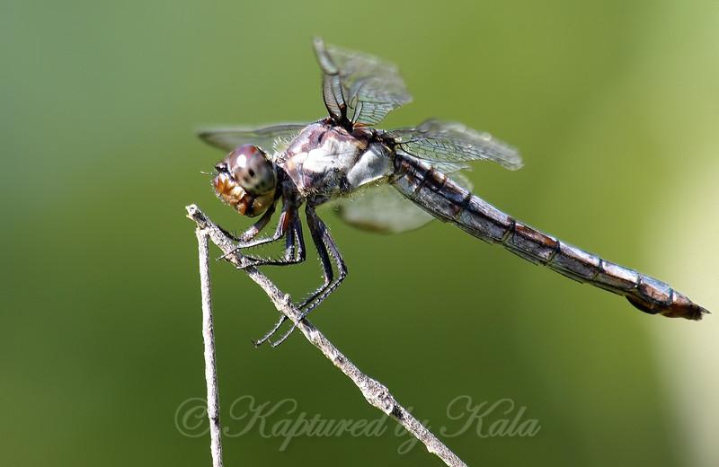 Young Female Slaty Skimmer