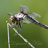 Young Female Slaty Skimmer