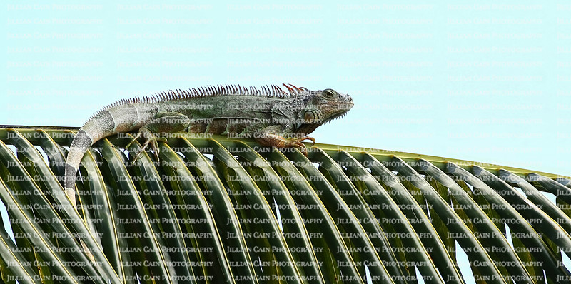 Cold blooded green iguana warms up by sitting on a large coconut palm frond.   Green iguanas are an invasive species in Florida, United States.