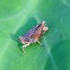Pygmy Grasshopper On An Elephant Ear