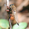 Giant Robber Fly At The Heard